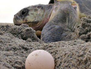 SAN MARíA HUAMELULA, OAXACA, 12AGOSTO2015.- Cientos de huevos de tortuga fueron saqueados durante esta semana en el campamento tortuguero de Morro, esto luego de que desde el 2014 fueran retirados los elementos de la Secretaría de Marina quienes resguardaban la zona. Habitantes de la zona acuden al lugar durante las arribazones para realizar el saqueo, acusaron ambientalistas. FOTO: JESíšS Mí‰NDEZ /CUARTOSCURO.COM